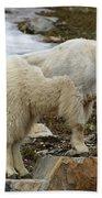 Shedding Mountain Goat Beach Towel
