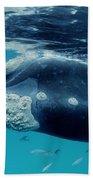Southern Right Whale Australia Beach Towel