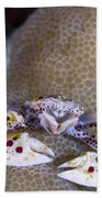 Spotted Porcelain Crab Feeding Beach Towel by Steve Jones