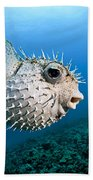 Spotted Porcupinefish Beach Towel