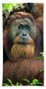 Sumatran Orangutan Pongo Abelii Beach Towel