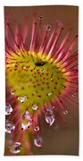 Sundew With Digested Food, British Beach Towel