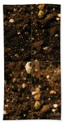 Sunflower Seedling Growth Sequence Beach Towel