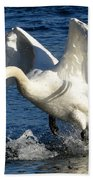 Swan In Action Beach Towel