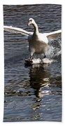 Swan Touches Down Beach Towel