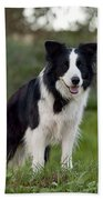 Taj - Border Collie Beach Towel by Michelle Wrighton