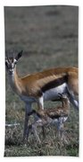 Thomson Gazelle And Newborn Calf Beach Towel