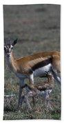 Thomson Gazelle And Newborn Calf Beach Towel