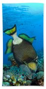 Titan Triggerfish Picking At Coral Beach Towel