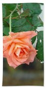 Water Dripping From A Peach Rose After Rain Beach Towel