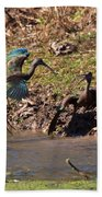 White-faced Ibis Mating Behavior In Early Spring Beach Towel