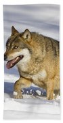 Wolf Canis Lupus Walking In Snow Beach Towel