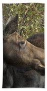 Yearling Calf On Alert Beach Towel