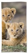 Young African Lion Cubs  Beach Towel