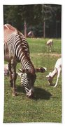 Zebra's Grazing Beach Towel