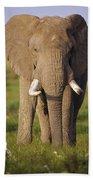 African Elephant Loxodonta Africana Beach Sheet