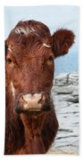 Beautiful Brown Cow On The Burren In Ireland Beach Towel