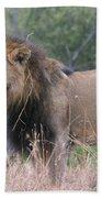Black Maned Lion Beach Towel