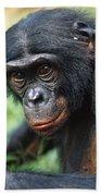Bonobo Pan Paniscus Portrait Beach Towel