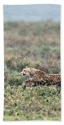 Cheetah Acinonyx Jubatus Hunting Beach Towel