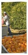 Harvesting Navel Oranges Beach Towel