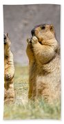 Himalayan Marmots Pair Standing In Open Grassland Ladakh India Beach Towel