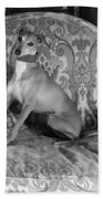Portrait Of An Italian Greyhound In Black And White Beach Towel