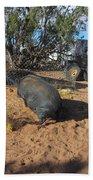 Pot-bellied Pig Beach Towel