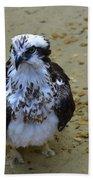 Sea Hawk Standing In Shallow Water Beach Towel