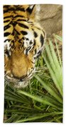 Stalking Tiger Beach Towel