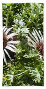 Stemless Carline Thistle Carlina Acaulis Beach Towel