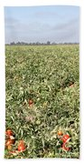 Tomato Field, California Beach Towel