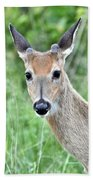 Young White-tailed Buck In Velvet Beach Towel