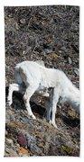 Dahl Sheep, Turnigan Arm Beach Towel