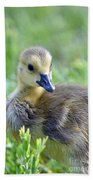 Canadian Goose Chick Beach Towel
