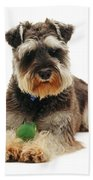 Miniature Schnauzer Beach Towel by Jane Burton