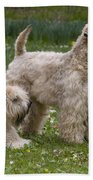 Soft-coated Wheaten Terriers Beach Towel