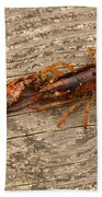 Young Lobster Beach Towel