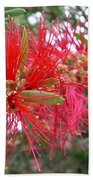 Australia - Red Flower Of The Callistemon Beach Towel