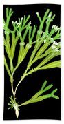 Rockweed Seaweed, X-ray Beach Towel