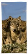 Gray Wolf And Cubs Beach Towel
