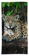 Jaguar Panthera Onca, Pantanal Beach Towel