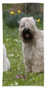 Soft-coated Wheaten Terriers Beach Towel