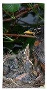Robin Feeding Its Young Beach Towel