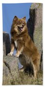 Finnish Lapphund Beach Towel