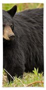 Maine Black Bear Beach Towel