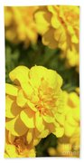 Tagetes Patula Fully Bloomed French Marigold At Garden In Octob Beach Towel