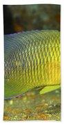 A Dusky Damselfish Offshore From Panama Beach Towel