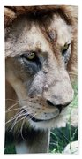 A Male Lion, Panthera Leo, King Of Beasts Beach Towel