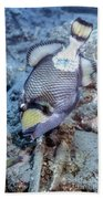 A Titan Triggerfish Faces Beach Towel